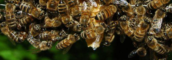 Bienenvolk gesucht